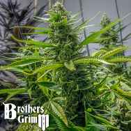 Brothers Grimm Seeds Rosetta Stone