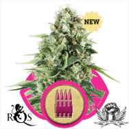 Royal Queen Seeds Royal AK