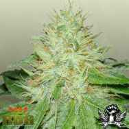 Royal Dutch Genetics Six Shooter