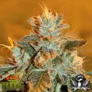 Royal Dutch Genetics Special K