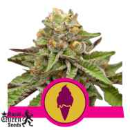 Royal Queen Seeds Green Gelato