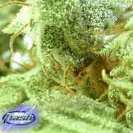 Flash Autoflowering Seeds Russian Fuel