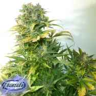 Flash Autoflowering Seeds Russian Haze