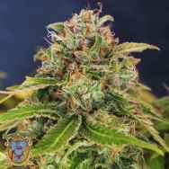 Sweet Seeds S.A.D. Sweet Afgani Delicious Fast Version