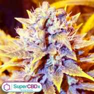 SuperCBDx Seeds San Francisco OG x SCBDX