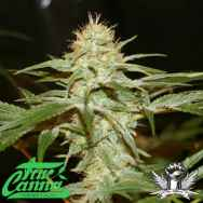 True Canna Genetics Sagans Star