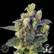 Sagarmatha Seeds Blue Thunder