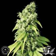 Sagarmatha Seeds Northern Lights #9