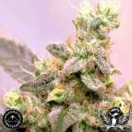 Sagarmatha Seeds White Russian Automatic