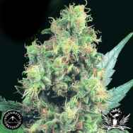 Sagarmatha Seeds Blueberry Bud