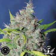 Sagarmatha Seeds Bubbleberry