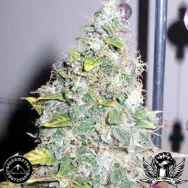 Sagarmatha Seeds Smurfberry Automatic