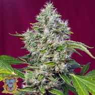Sweet Seeds San Fernando Lemon Kush