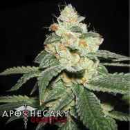 Apothecary Genetics Seeds San Fernando Valley OG