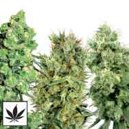 White Label Seeds Sativa Mix