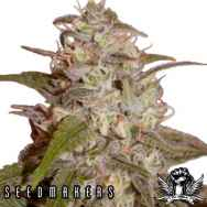 Seedmakers Seeds Orange Light