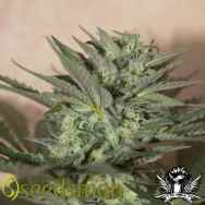 Seedsman Seeds Auto Great White