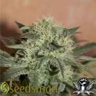 Seedsman Seeds Auto Lemon