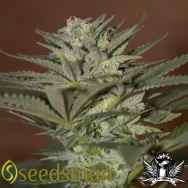 Seedsman Seeds Auto Mini Gun