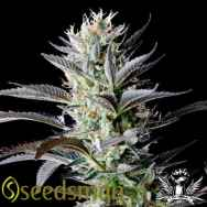 Seedsman Seeds Big Afghan Skunk