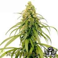 Seedsman Seeds Early Durban
