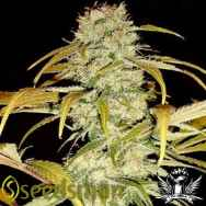 Seedsman Seeds Hawaiian Skunk
