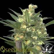 Seedsman Seeds Indian Haze