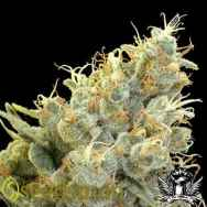 Seedsman Seeds Indian Skunk