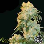 Seedsman Seeds Northern Lights