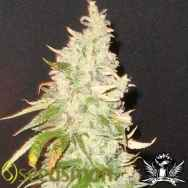 Seedsman Seeds Northern Soul
