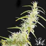 Seedsman Seeds Original Haze