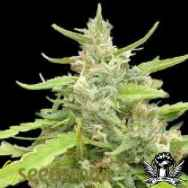 Seedsman Seeds Sugar Haze