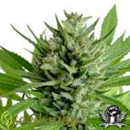 Seedsman Seeds Top Skunk 44