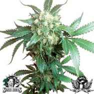 Sensi Seeds Black Domina