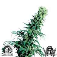 Sensi seeds Early Pearl