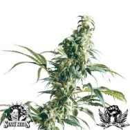 Sensi Seeds Mexican Sativa
