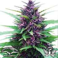 Dutch Passion Seeds Shaman