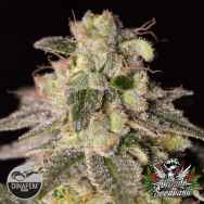 Mr Nice Seeds Shark Shock