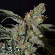 CBD Seeds Shark