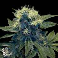 GYO by DNA Genetics Sharks Breath