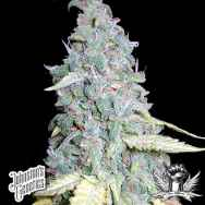 Johnston's Genetics Seeds Shook's Run Kush