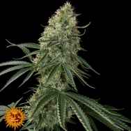 Barneys Farm Seeds Auto Sin Tra Bajo