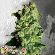 Dr. Krippling Seeds Super Skunk AUTO