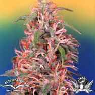 Dutch Passion Seeds Skunk Passion