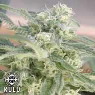 kulu Seeds Skunk Red Hair