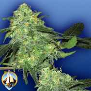 Flying Dutchmen Seeds Skunk Classic