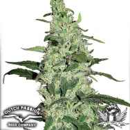 Dutch Passion Seeds Skywalker
