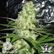 Bodhi Seeds Snow Leopard