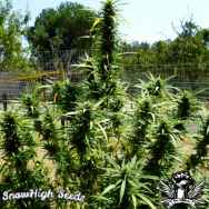 SnowHigh Seeds Chocolate Thai x Big Sur Holy Weed x Acapulco Gold x C99 (Holy Diver