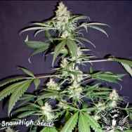 SnowHigh Seeds Purple Mexican Thai